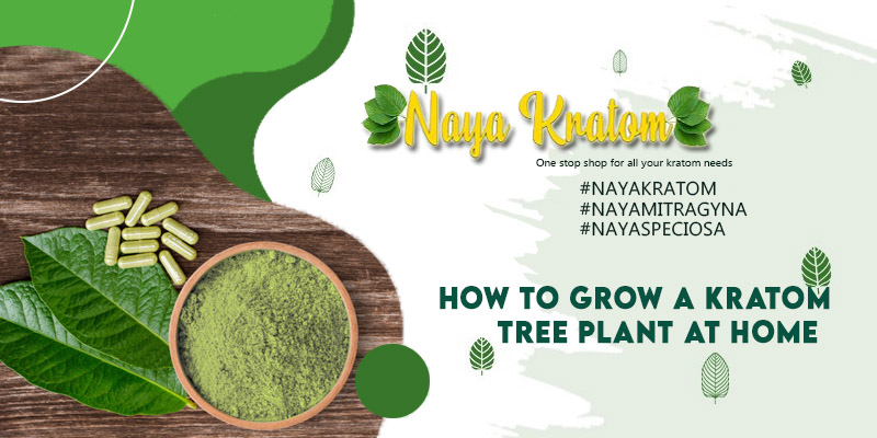 How to Grow a Kratom Tree Plant at Home